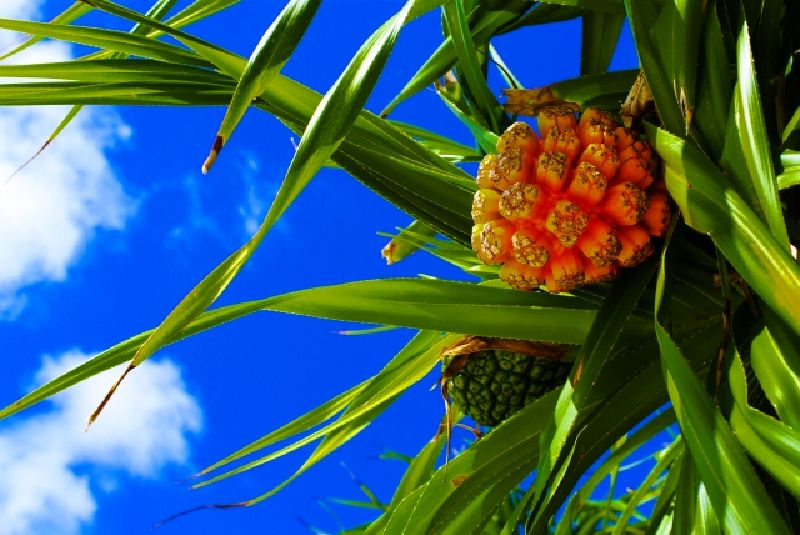 鳩間島-植物