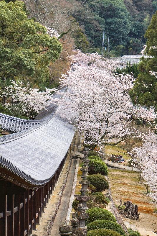 吉備津神社_回廊_桜
