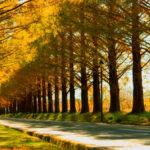 マキノ町のメタセコイア並木が美しい!圧巻の紅葉も大人気