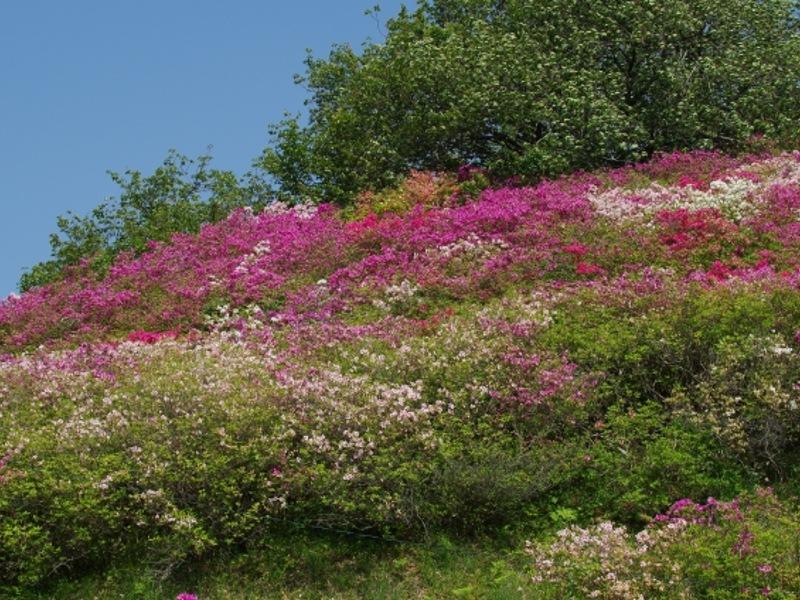 冨士山公園つつじ画像