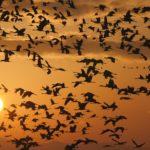 出水市で鶴を見る!日本一の飛来地での観察ポイントや時期を解説