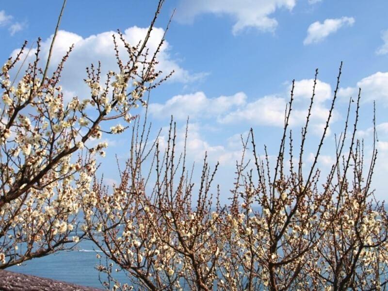 灘黒岩水仙郷_梅の花