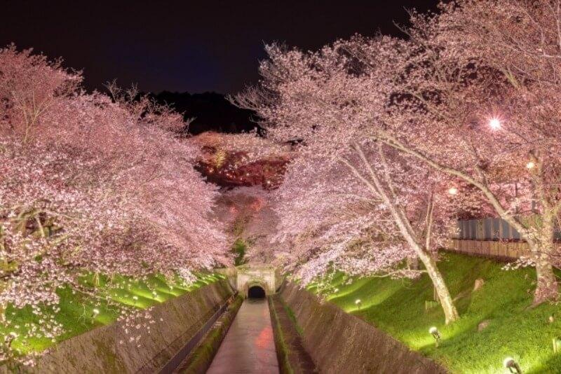 琵琶湖疎水_夜桜ライトアップ