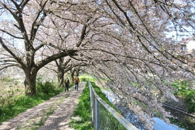 見沼_桜回廊_002
