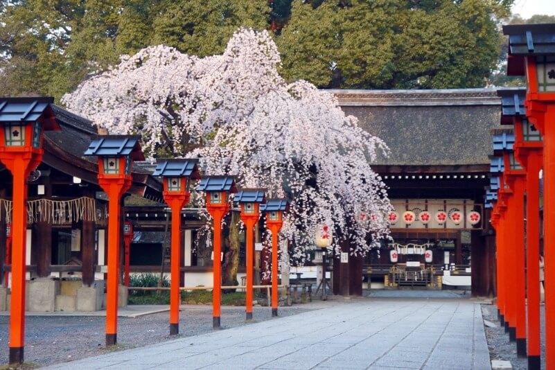 平野神社_桜