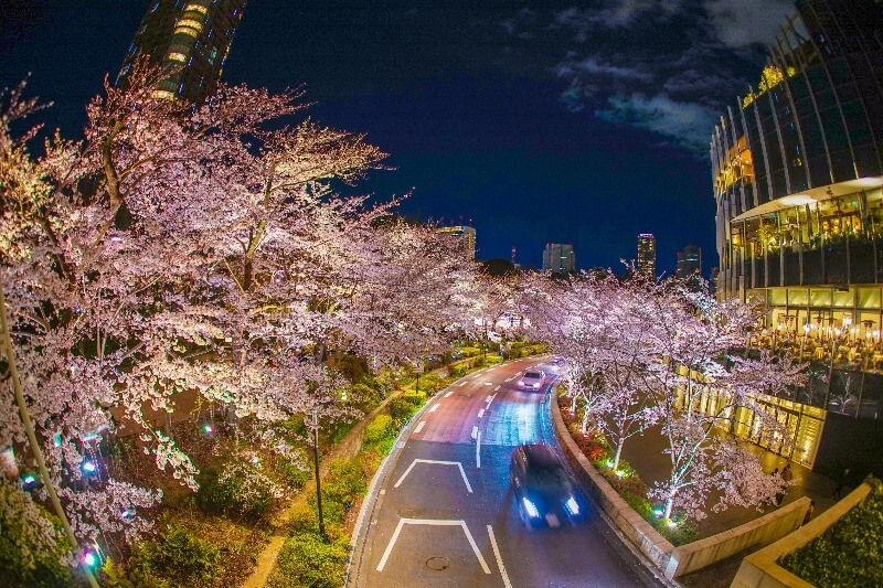 東京ミッドタウン_夜桜ライトアップ
