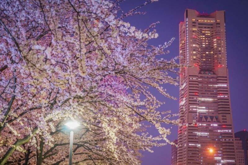 みなとみらい_夜桜ライトアップ