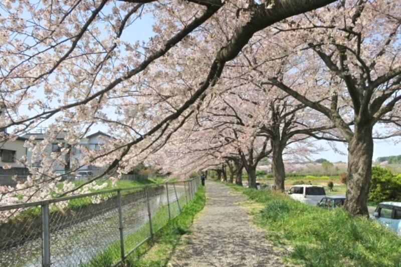 見沼_桜回廊_001