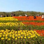 新潟はチューリップで生産量日本一!チューリップも美しい国営越後丘陵公園で1年中楽しもう!
