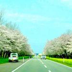 湖底にあった秋田県大潟村で桜と菜の花が道をデコレーション!こんな道を走りたい!