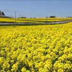 宮城県屈指の菜の花畑!大崎市三本木の『ひまわりの丘』で遅めの春を感じる!