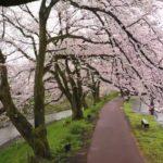福井県越前市の隠れた桜の名所「吉野瀬川」の桜並木!他にも越前市は歴史ある魅力いっぱい