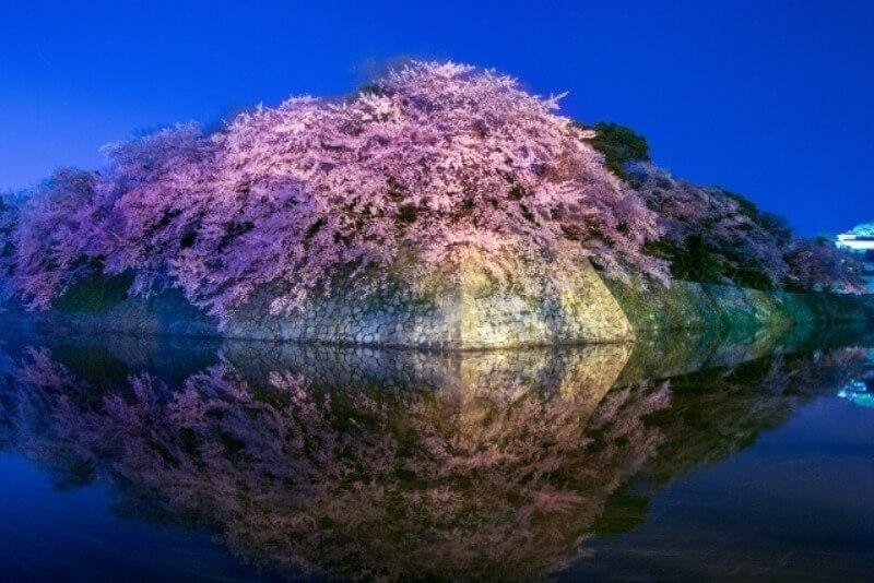 彦根城_夜桜ライトアップ