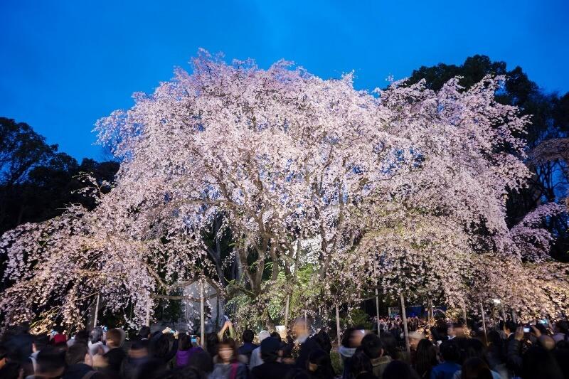 六義園_夜桜ライトアップ