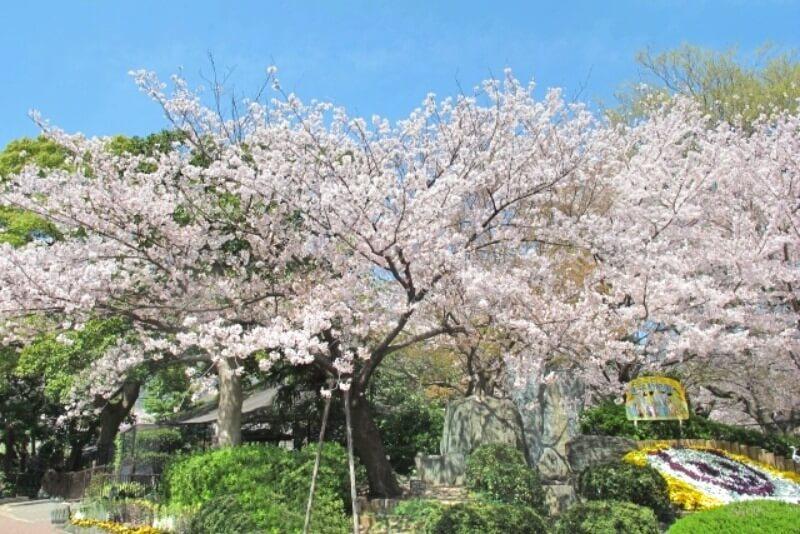 神戸市立王子動物園_桜