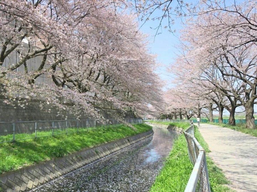 見沼_桜回廊_cover