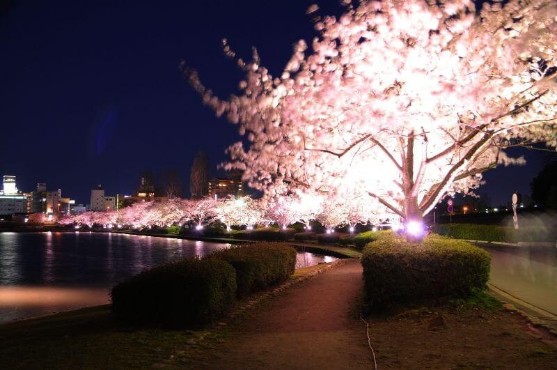 千波湖_夜桜ライトアップ