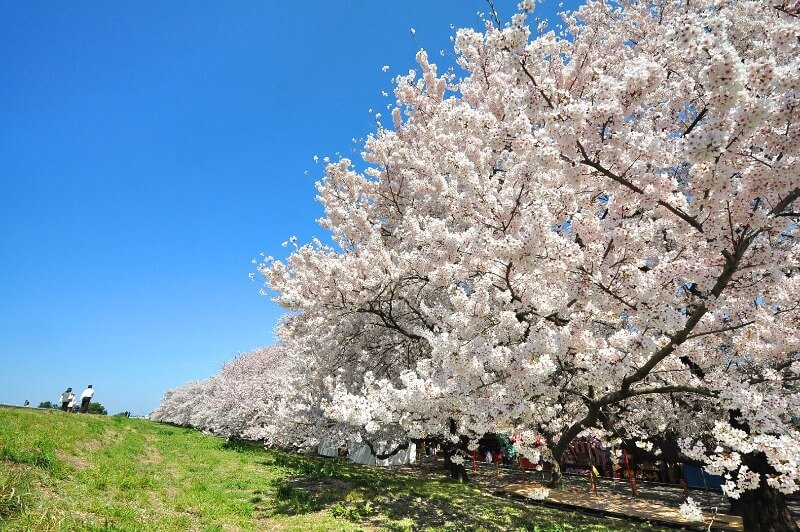 熊谷桜堤_桜