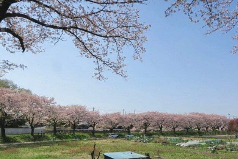 見沼_桜回廊_003