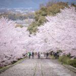 蹴上インクラインの桜の見頃やアクセス・駐車場情報を紹介