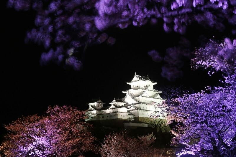 姫路城_夜桜ライトアップ
