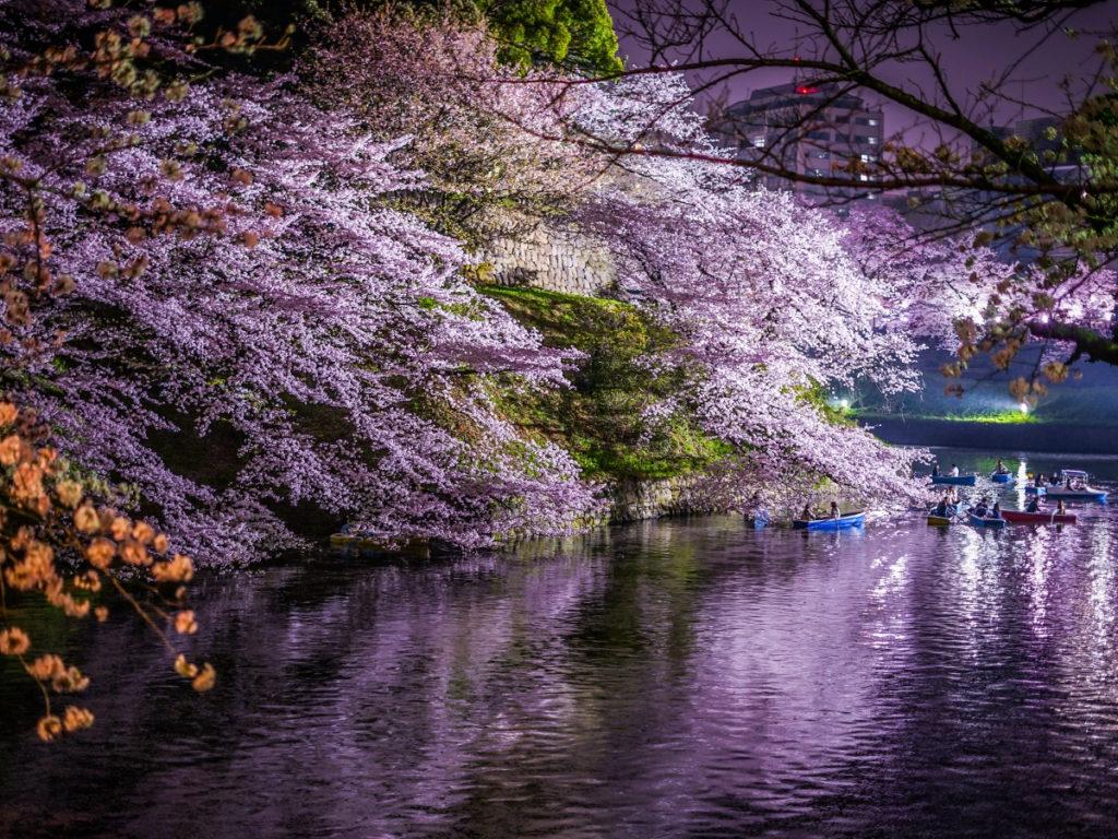 千鳥ヶ淵桜画像