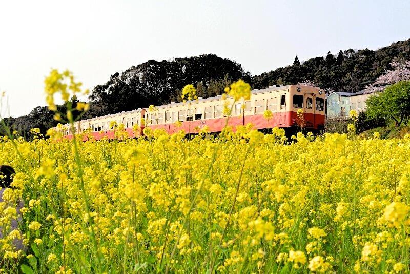 小湊鉄道_西広菜の花畑