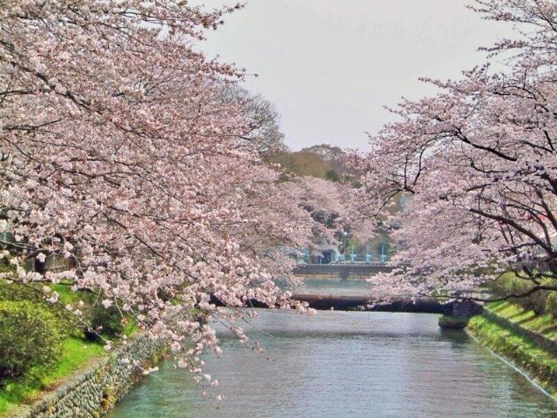 羽村堰_桜