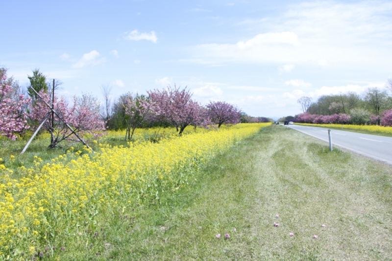 桜菜の花ロード画像