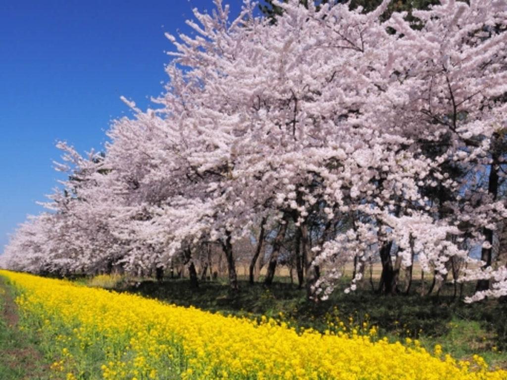 桜菜の花コントラスト画像