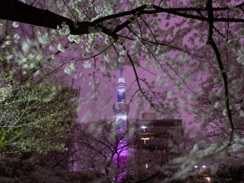 隅田公園桜画像