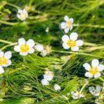 醒井宿で清流散策!梅花藻の見頃の時期や観光スポットを紹介