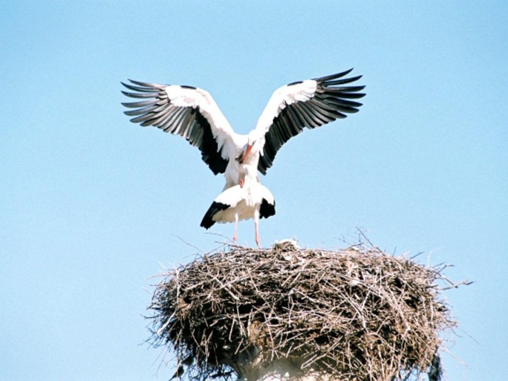 コウノトリの巣画像