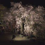 長野の古刹『光前寺』のしだれ桜や紅葉のライトアップとヒカリゴケは必見