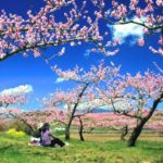 韮崎の観光スポット『新府桃源郷』で桃の花のピンクの絨毯に感動!