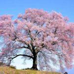 わに塚は一本桜の絶景!見頃やライトアップ・駐車場情報も徹底解説