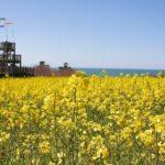 九州最大級の菜の花・ひまわり畑!大分『長崎鼻』で花とアートと海を感じる!