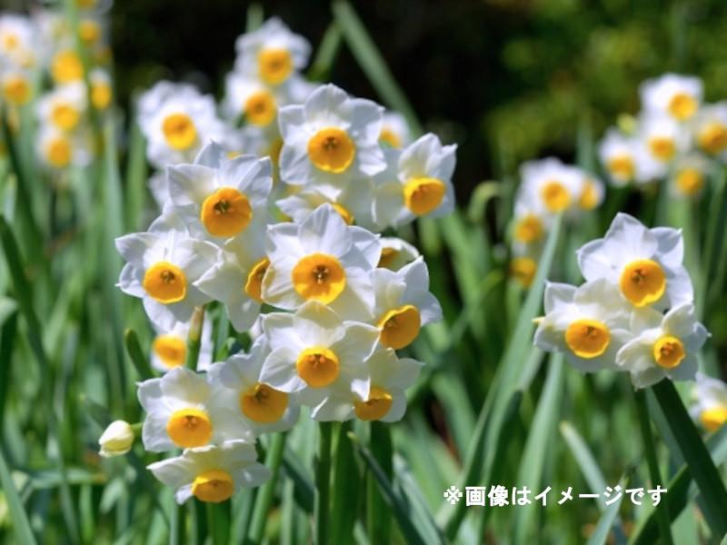 水仙_イメージ_imaga