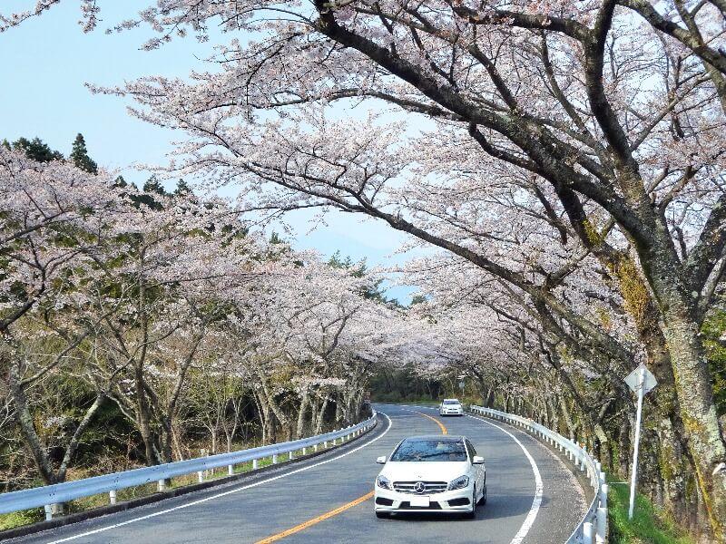 箱根ターンパイク_桜