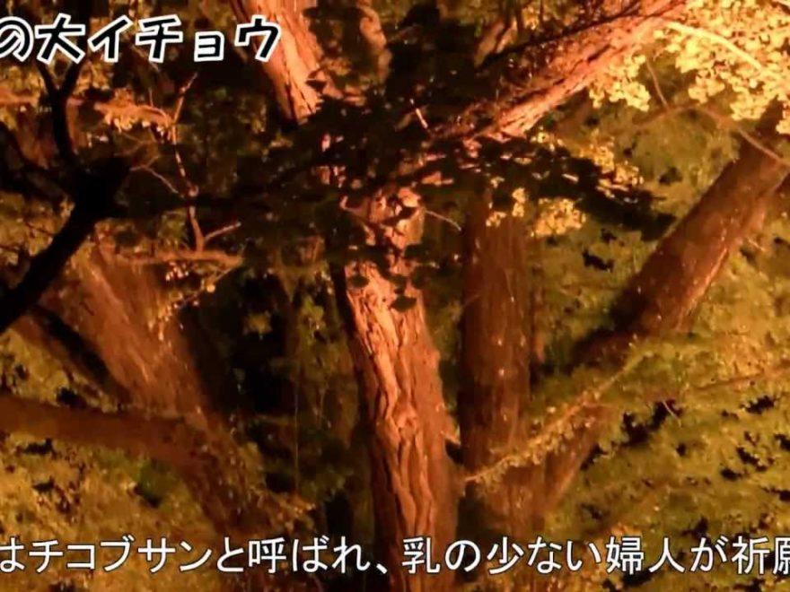 小国町・下城の大イチョウ(熊本) | 2018年紅葉ライトアップ情報