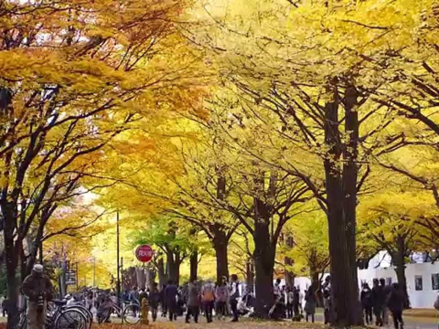北海道大学イチョウ並木(北海道) | 2018年紅葉ライトアップ情報