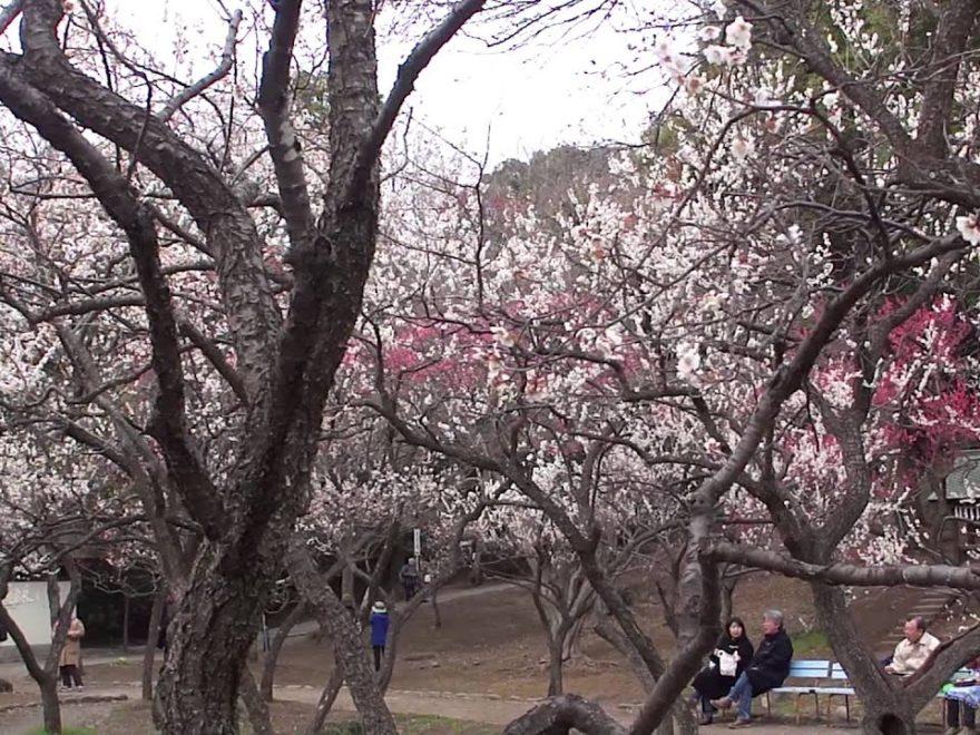 谷保天満宮(東京) | 2019年梅まつり・見頃情報
