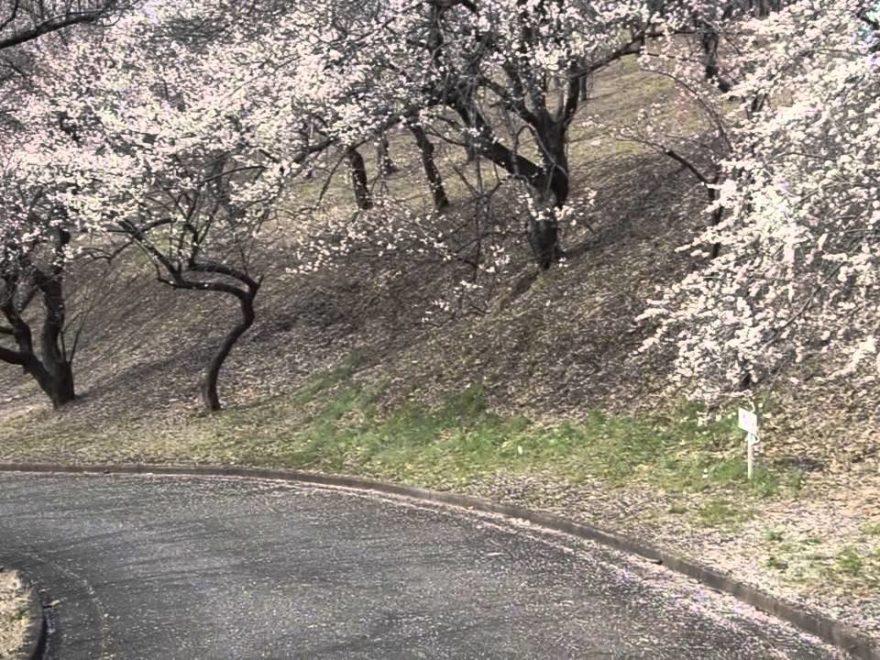 こどもの国(神奈川) | 2019年梅まつり・見頃情報