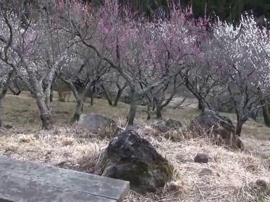 湯河原梅林(幕山公園・神奈川) | 2019年梅まつり・見頃情報