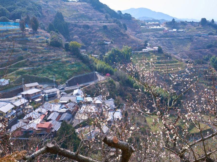 紀州石神 田辺梅林(和歌山) | 2019年梅まつり・見頃情報