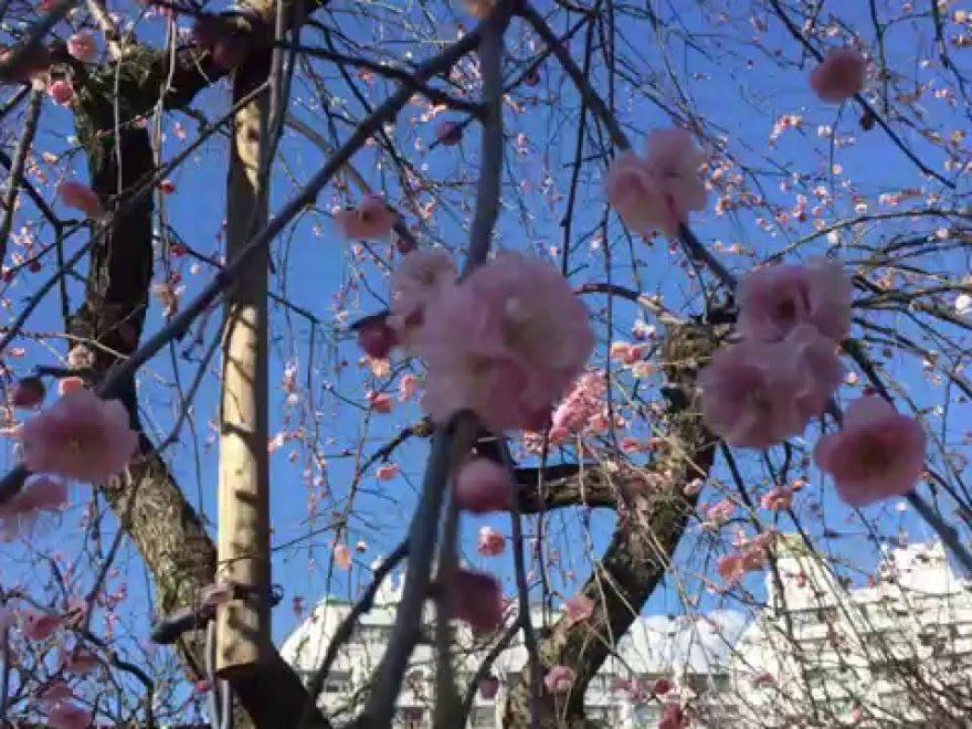 湯島天満宮(湯島天神)(東京) | 2019年梅まつり・見頃情報
