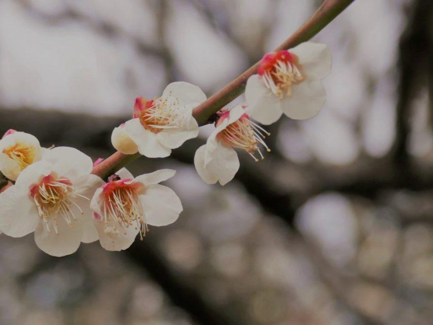 小石川後楽園(東京) | 2019年梅まつり・見頃情報