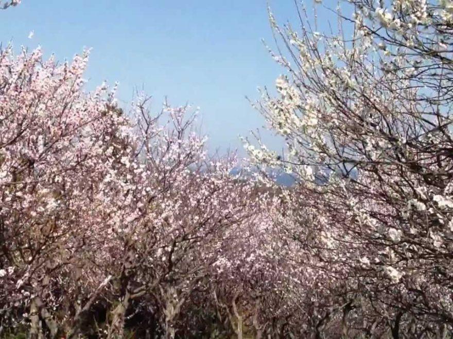 田浦梅の里(神奈川) | 2019年梅まつり・見頃情報