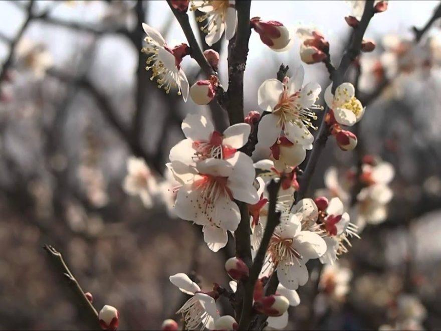 青谷梅林(京都) | 2019年梅まつり・見頃情報