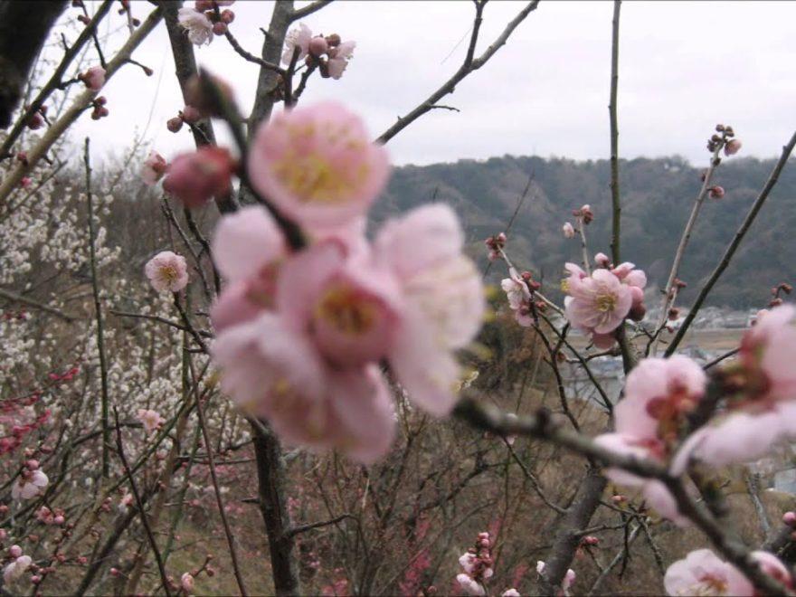 大仁梅林(静岡) | 2019年梅まつり・見頃情報